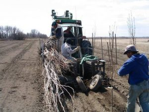 Planting one of the Prairie T.R.U.S.T. experimental plots at Lakeshore Tree Farms, Saskatoon.