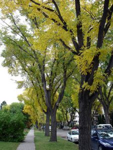 Cities and towns in Alberta, Saskatchewan, and Manitoba have few choices for broad headed shade trees due to severe climate. American Elms dominate most core neighbourhoods.
