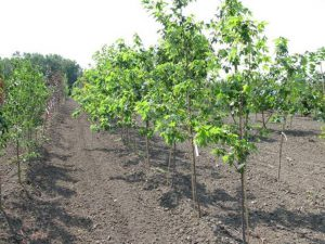 Maple (Acer.spp.) selections play a large part of the Prairie T.R.U.S.T. This row at Jeffries Nurseries did well during the first growing season. We'll see what winter brings…