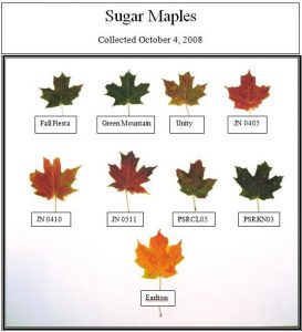 Comparing the timing of a maple's colour-change gives an indication of future hardiness.
